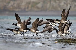 Brent Geese - Photo © Ian Cook
