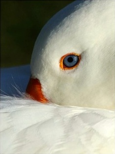 White Goose at Lincoln Park - Photo by kind permission of David Hutchinson, Seattle